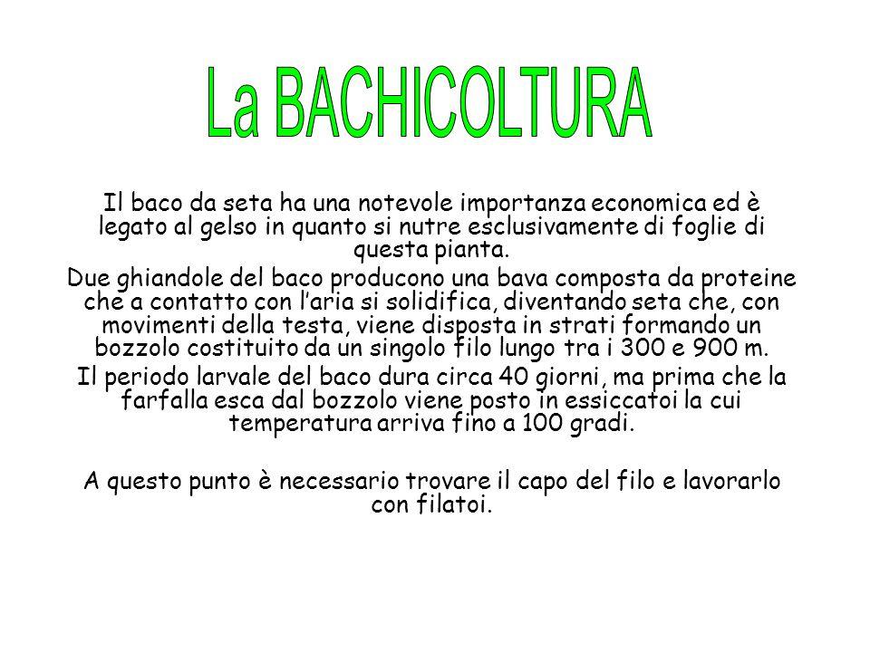 La BACHICOLTURA
