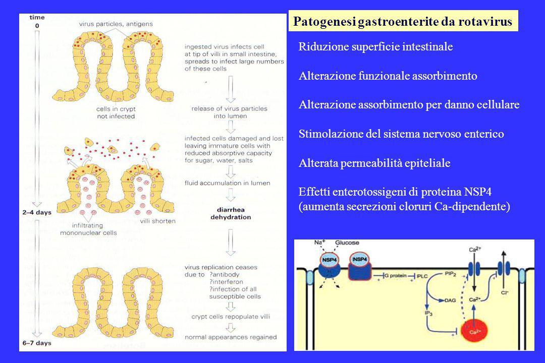 Patogenesi gastroenterite da rotavirus