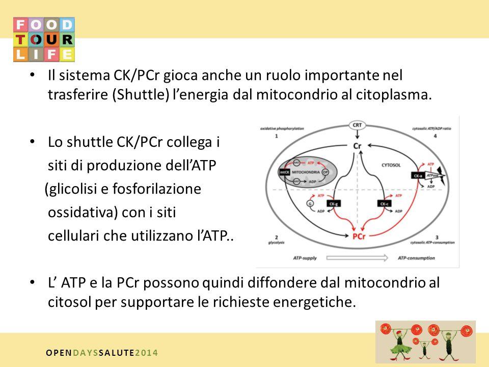 Lo shuttle CK/PCr collega i siti di produzione dell'ATP
