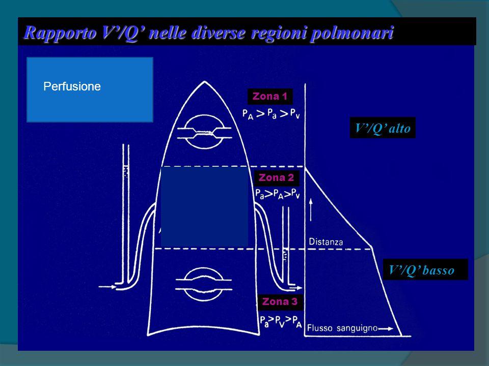 Rapporto V'/Q' nelle diverse regioni polmonari