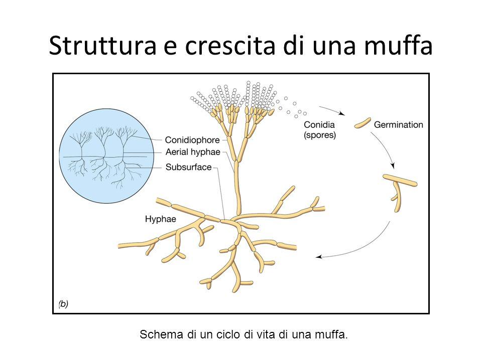 Struttura e crescita di una muffa