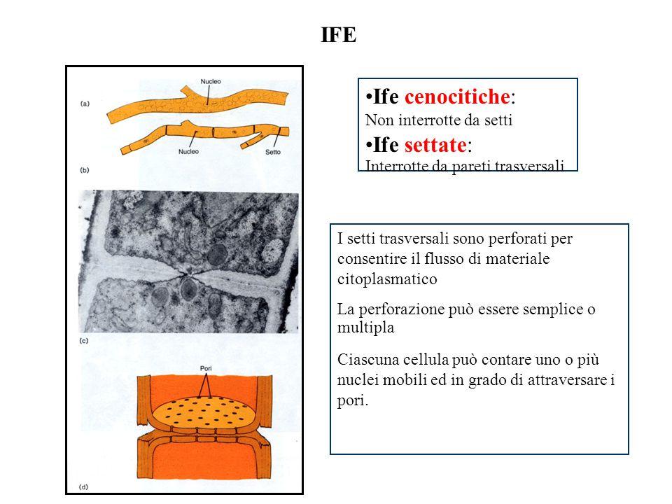 IFE Ife cenocitiche: Ife settate: Non interrotte da setti
