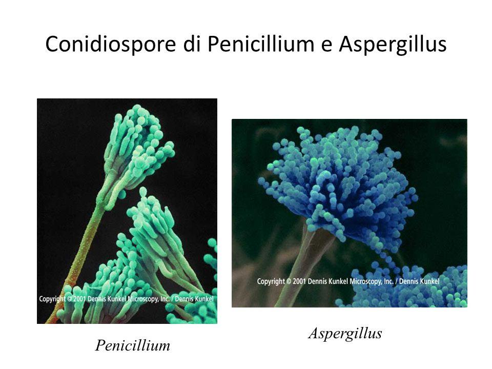 Conidiospore di Penicillium e Aspergillus