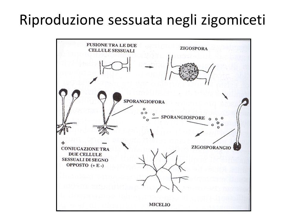 Riproduzione sessuata negli zigomiceti