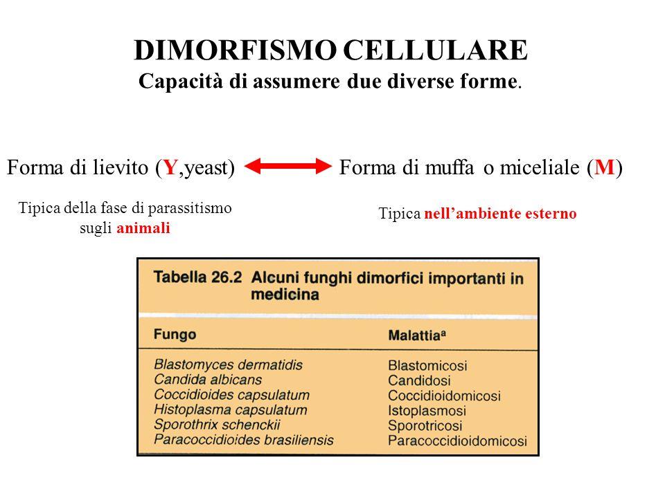 DIMORFISMO CELLULARE Capacità di assumere due diverse forme.