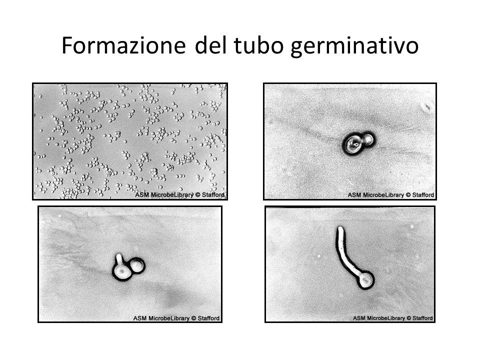 Formazione del tubo germinativo