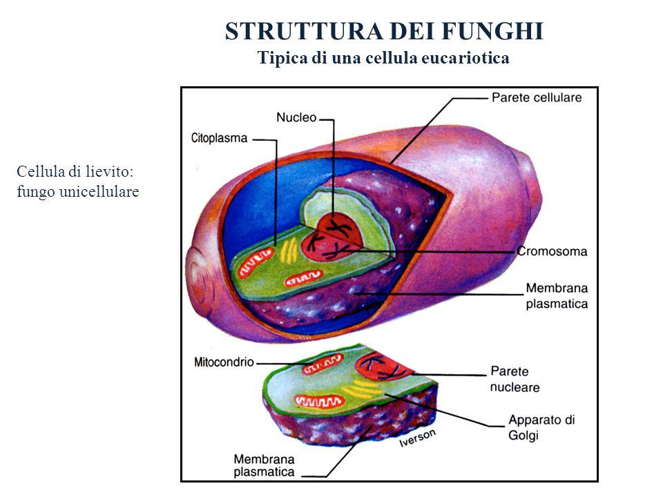 Tipica di una cellula eucariotica