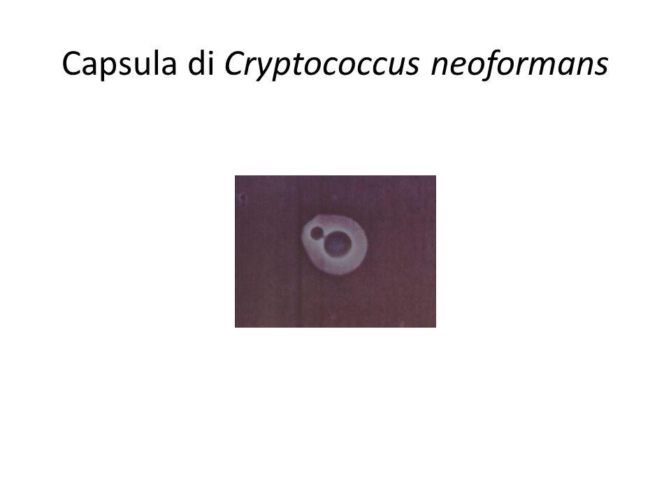 Capsula di Cryptococcus neoformans