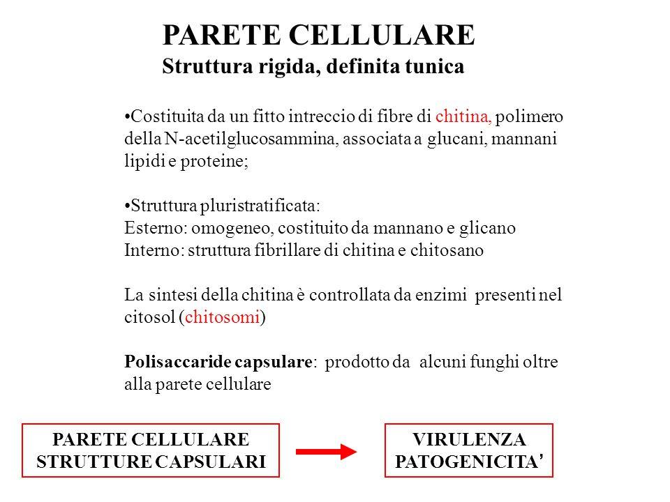 PARETE CELLULARE Struttura rigida, definita tunica