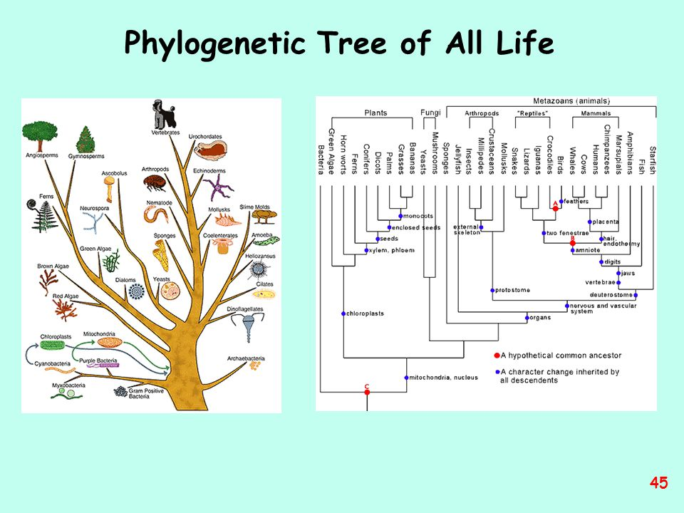 Phylogenetic Tree of All Life