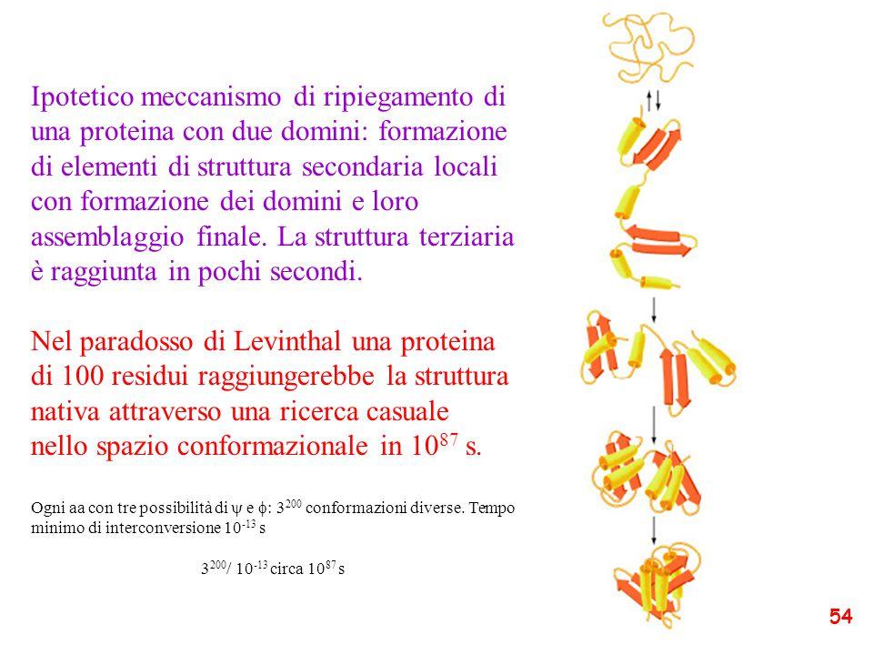 Ipotetico meccanismo di ripiegamento di una proteina con due domini: formazione di elementi di struttura secondaria locali con formazione dei domini e loro assemblaggio finale. La struttura terziaria è raggiunta in pochi secondi.