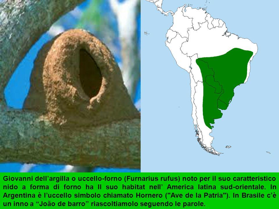 Giovanni dell'argilla o uccello-forno (Furnarius rufus) noto per il suo caratteristico nido a forma di forno ha Il suo habitat nell' America latina sud-orientale.