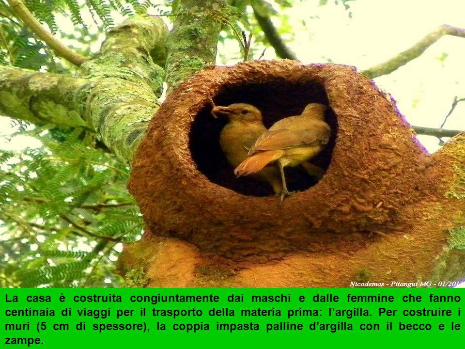 La casa è costruita congiuntamente dai maschi e dalle femmine che fanno centinaia di viaggi per il trasporto della materia prima: l'argilla.