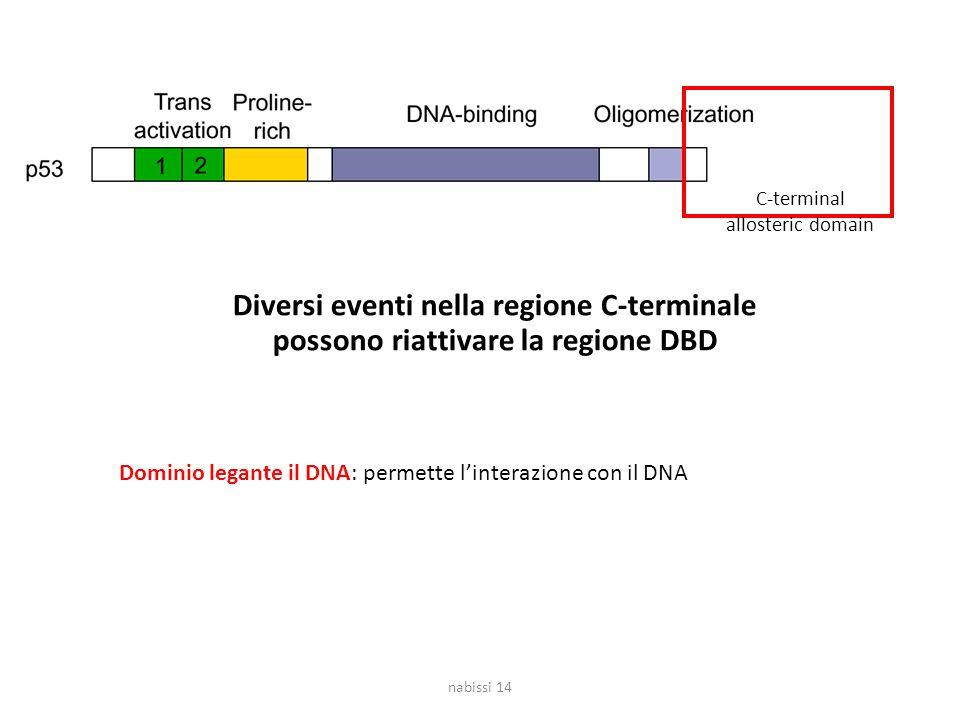 C-terminal allosteric domain. Diversi eventi nella regione C-terminale possono riattivare la regione DBD.
