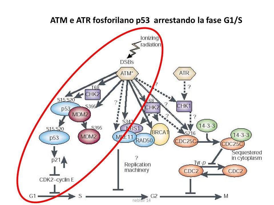 ATM e ATR fosforilano p53 arrestando la fase G1/S