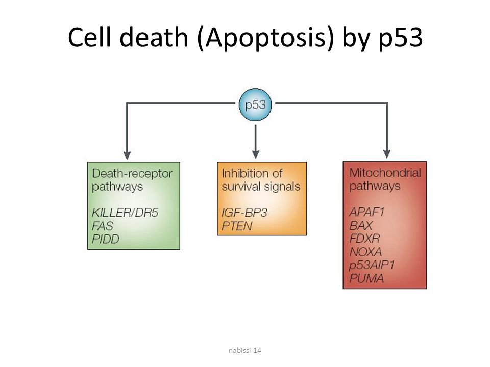 Cell death (Apoptosis) by p53
