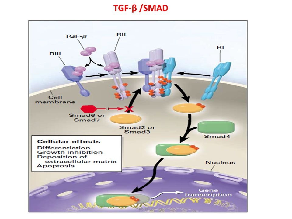 TGF-β /SMAD nabissi 14