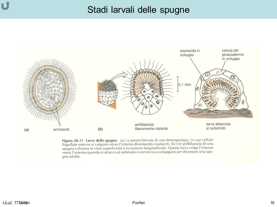 Stadi larvali delle spugne
