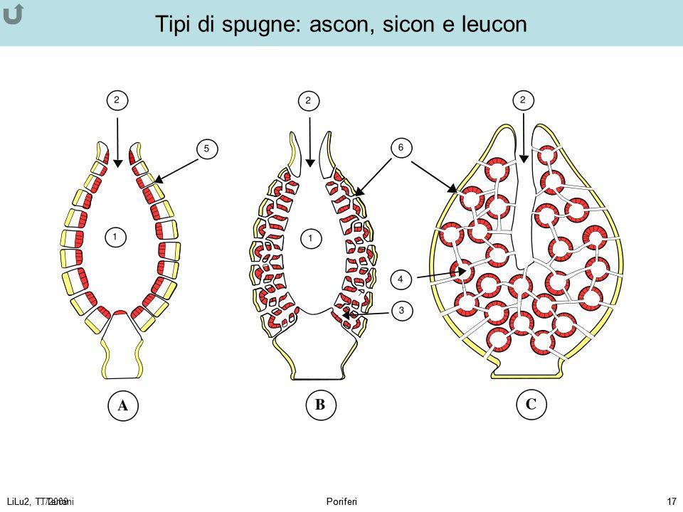 Tipi di spugne: ascon, sicon e leucon