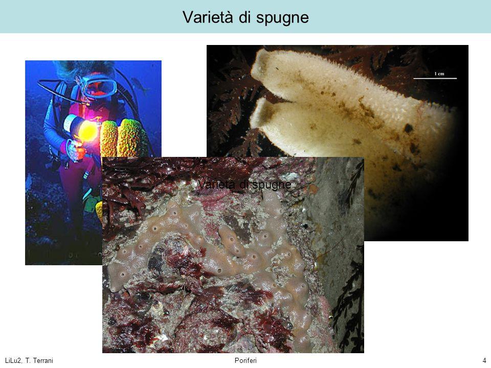 Varietà di spugne Varietà di spugne LiLu2, T. Terrani Poriferi