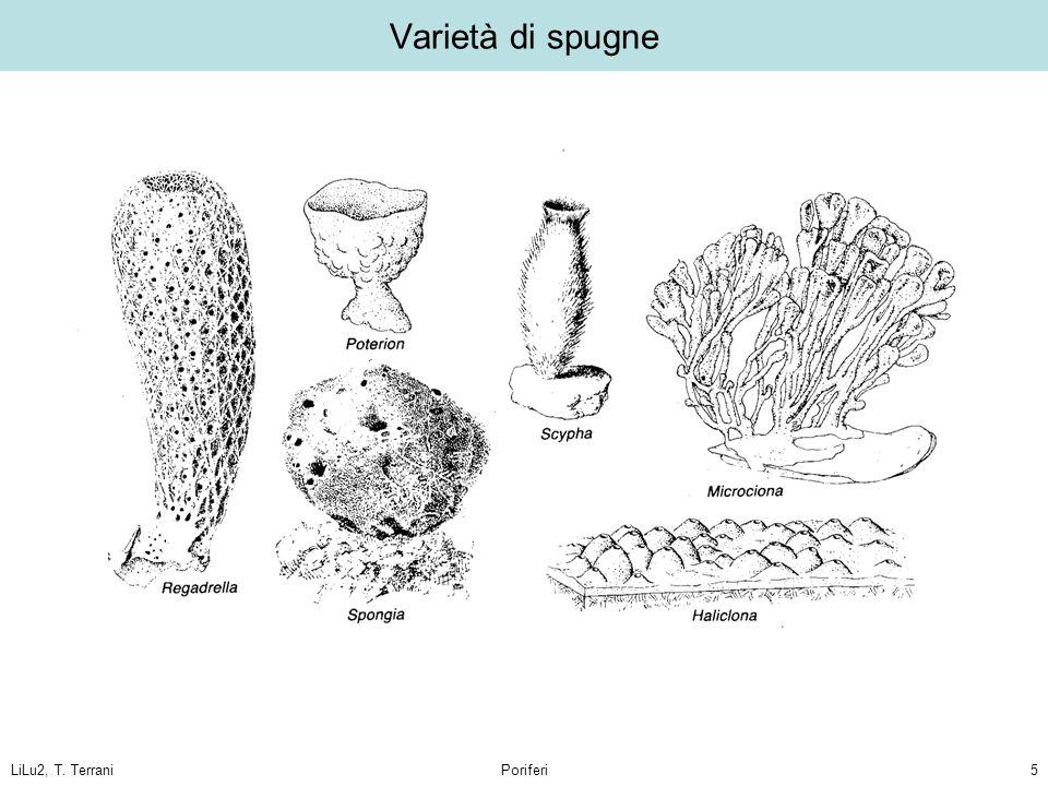 Varietà di spugne LiLu2, T. Terrani Poriferi