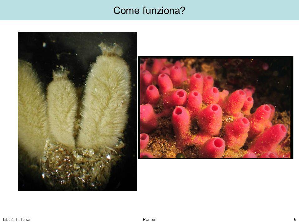 Come funziona LiLu2, T. Terrani Poriferi