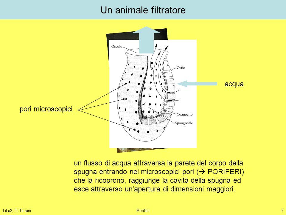 Un animale filtratore acqua pori microscopici
