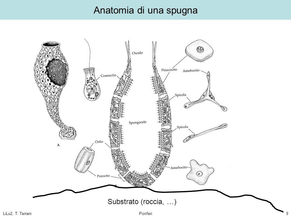 Anatomia di una spugna Substrato (roccia, …) LiLu2, T. Terrani