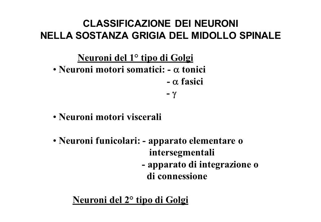 CLASSIFICAZIONE DEI NEURONI NELLA SOSTANZA GRIGIA DEL MIDOLLO SPINALE