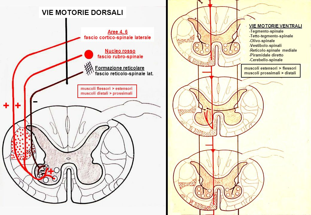 fascio cortico-spinale laterale