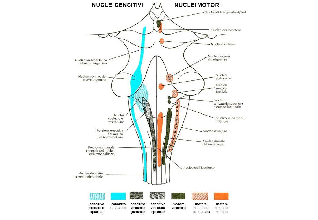 NUCLEI SENSITIVI NUCLEI MOTORI sensitivo somatico speciale motore