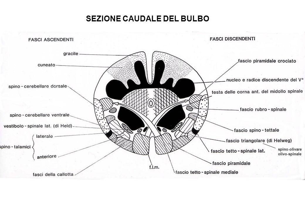 SEZIONE CAUDALE DEL BULBO