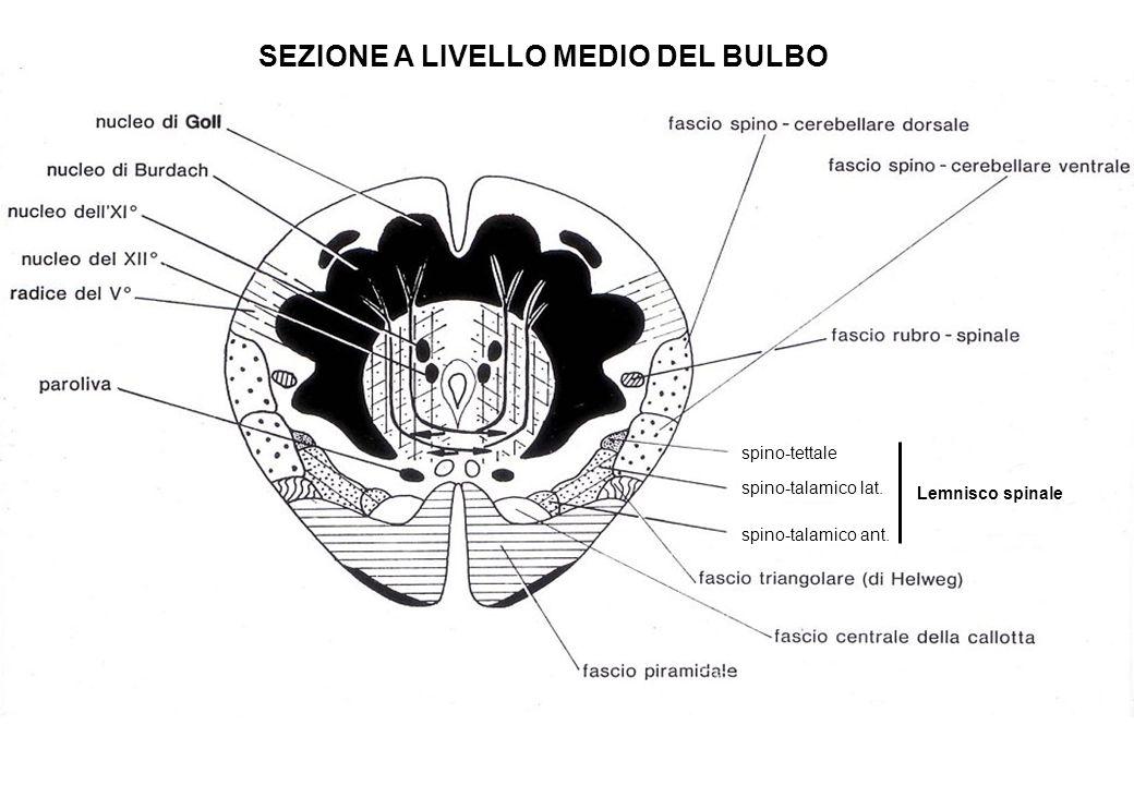 SEZIONE A LIVELLO MEDIO DEL BULBO