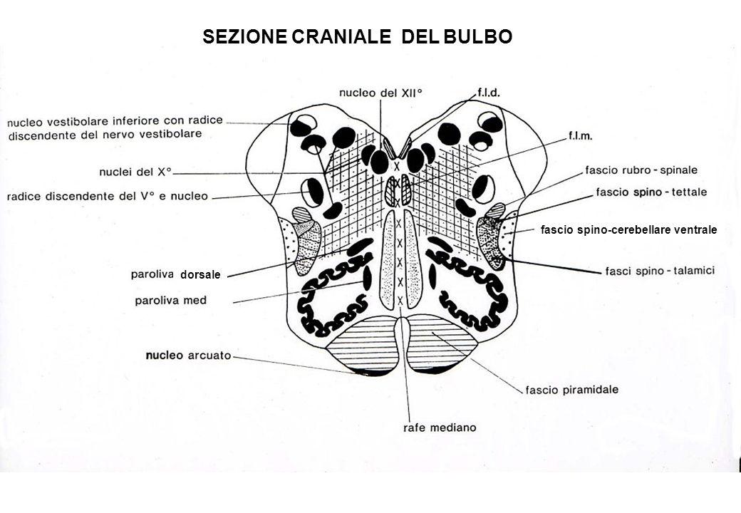 SEZIONE CRANIALE DEL BULBO