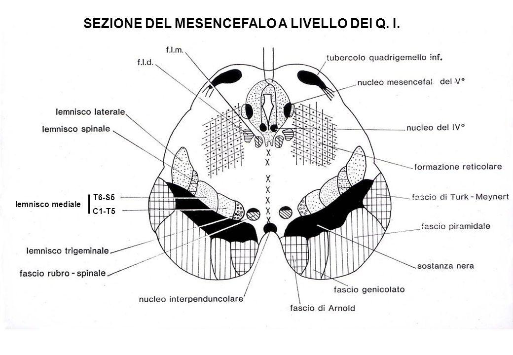 SEZIONE DEL MESENCEFALO A LIVELLO DEI Q. I.