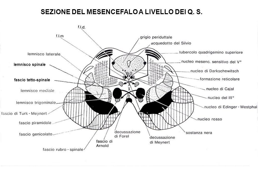 SEZIONE DEL MESENCEFALO A LIVELLO DEI Q. S.