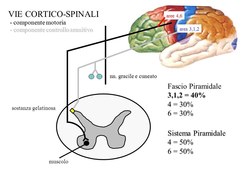 VIE CORTICO-SPINALI Fascio Piramidale 3,1,2 = 40% 4 = 30% 6 = 30%