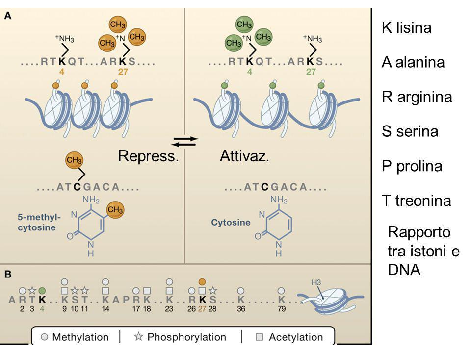 Figura 1 K lisina A alanina R arginina S serina Repress. Attivaz.