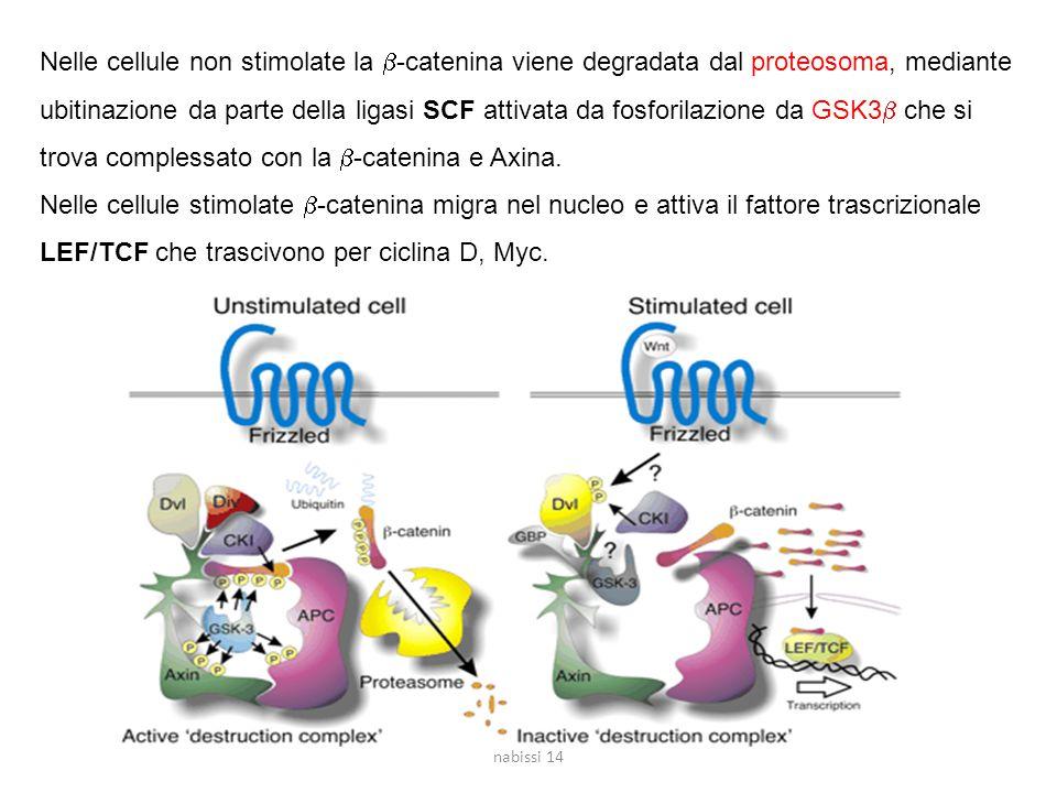 Nelle cellule non stimolate la b-catenina viene degradata dal proteosoma, mediante ubitinazione da parte della ligasi SCF attivata da fosforilazione da GSK3b che si trova complessato con la b-catenina e Axina.