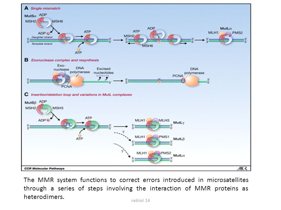 The MMR system functions to correct errors introduced in microsatellites through a series of steps involving the interaction of MMR proteins as heterodimers.