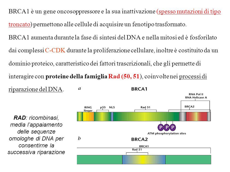 BRCA1 è un gene oncosoppressore e la sua inattivazione (spesso mutazioni di tipo troncato) permettono alle cellule di acquisire un fenotipo trasformato. BRCA1 aumenta durante la fase di sintesi del DNA e nella mitosi ed è fosforilato dai complessi C-CDK durante la proliferazione cellulare, inoltre è costituito da un dominio proteico, caratteristico dei fattori trascrizionali, che gli permette di interagire con proteine della famiglia Rad (50, 51), coinvolte nei processi di riparazione del DNA.
