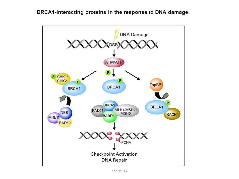 BRCA1-interacting proteins in the response to DNA damage.