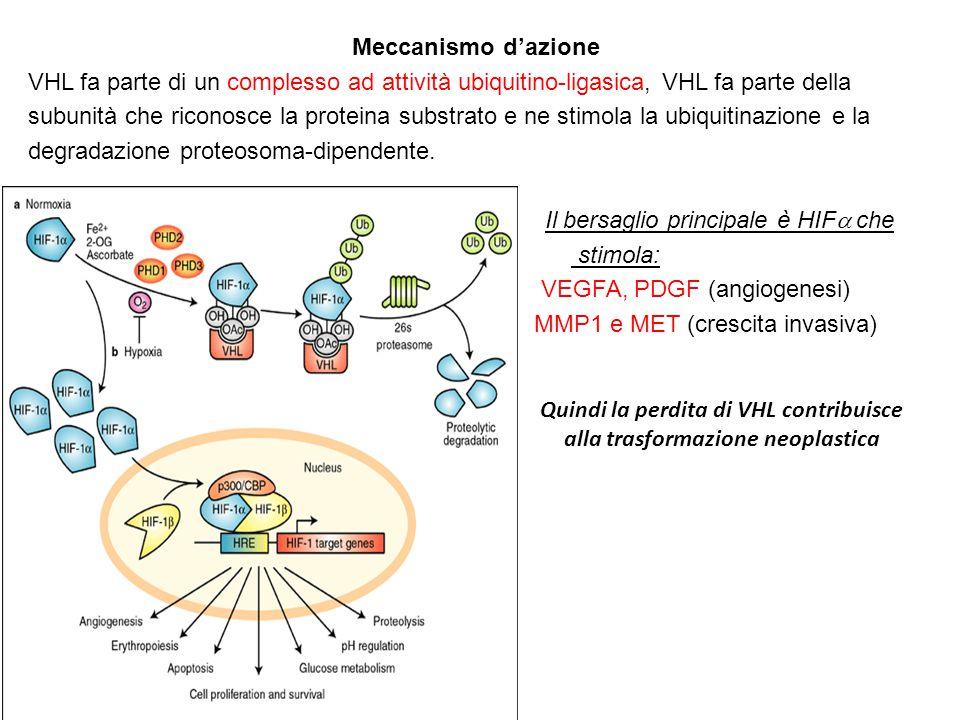 Quindi la perdita di VHL contribuisce alla trasformazione neoplastica