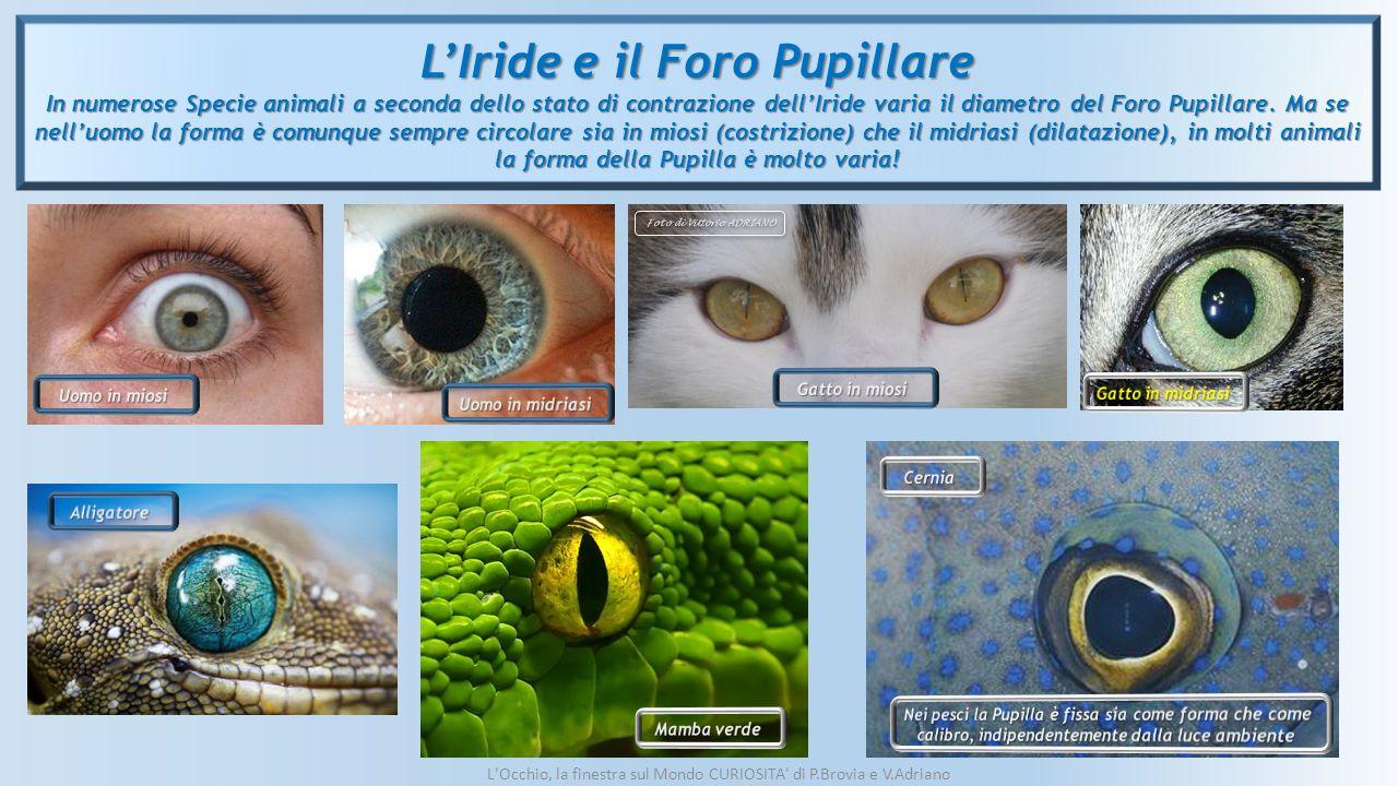 L'Iride e il Foro Pupillare Foto di Vittorio ADRIANO