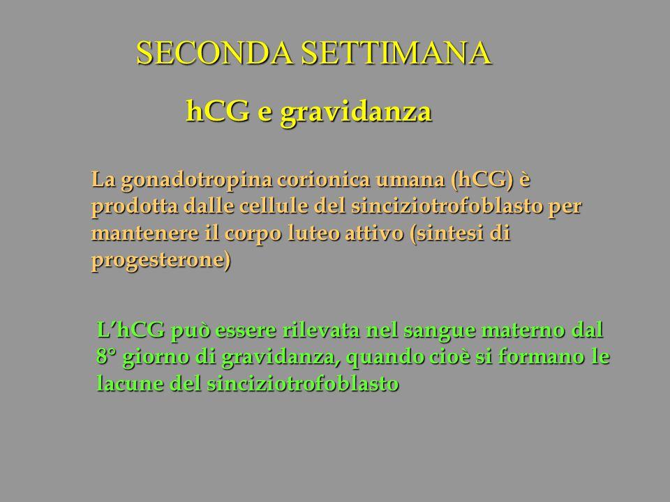SECONDA SETTIMANA hCG e gravidanza