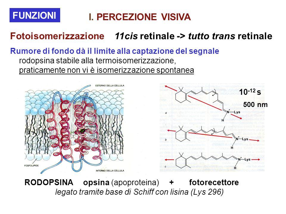 Fotoisomerizzazione 11cis retinale -> tutto trans retinale FUNZIONI