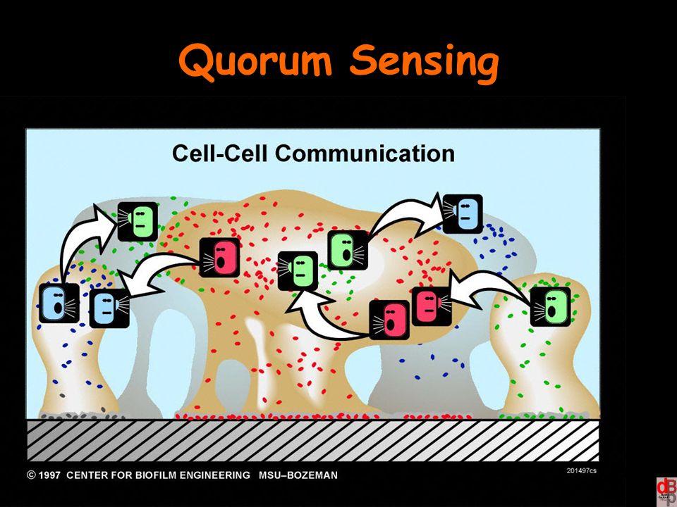 Quorum Sensing Quando la popolazione batterica raggiunge una concentrazione critica, una molecola dà il segnale per lo sviluppo del biofilm.