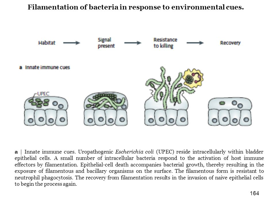 Filamentation of bacteria in response to environmental cues.