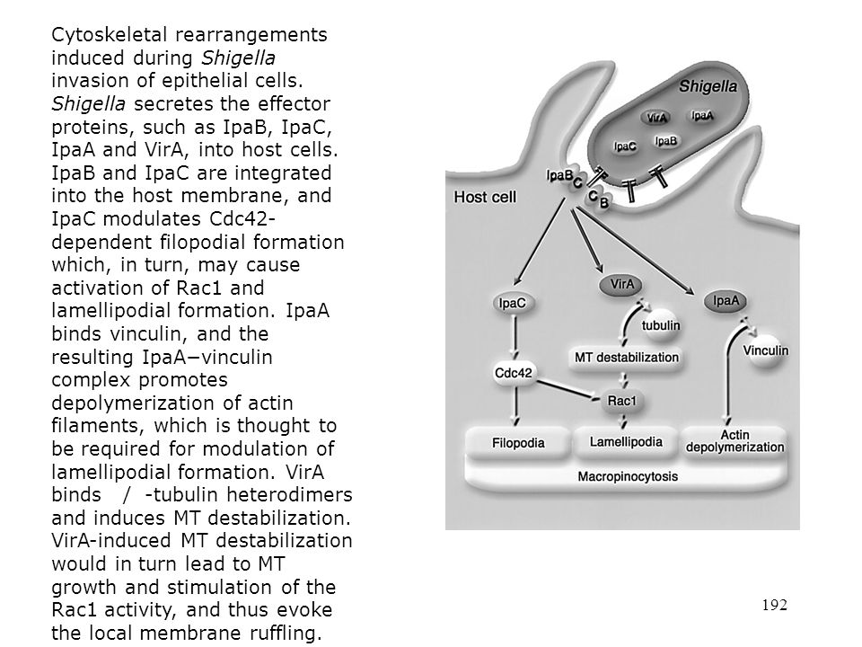 Cytoskeletal rearrangements induced during Shigella invasion of epithelial cells. Shigella secretes the effector proteins, such as IpaB, IpaC, IpaA and VirA, into host cells. IpaB and IpaC are integrated into the host membrane, and IpaC modulates Cdc42-dependent filopodial formation which, in turn, may cause activation of Rac1 and lamellipodial formation. IpaA binds vinculin, and the resulting IpaA−vinculin complex promotes depolymerization of actin filaments, which is thought to be required for modulation of lamellipodial formation. VirA binds / -tubulin heterodimers and induces MT destabilization. VirA-induced MT destabilization would in turn lead to MT growth and stimulation of the Rac1 activity, and thus evoke the local membrane ruffling.