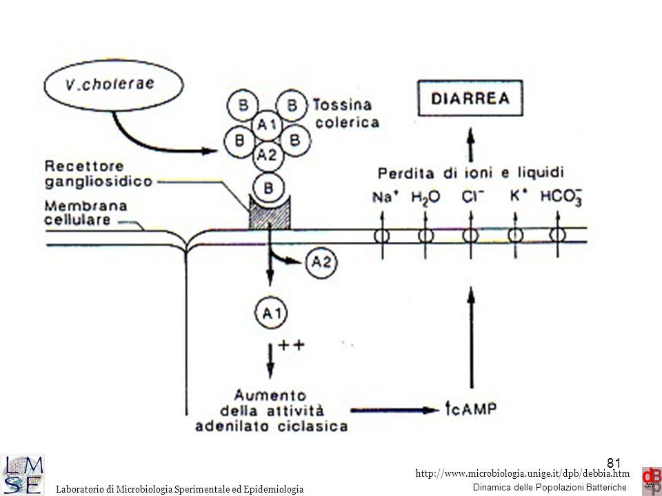 Il frammento A1, in presenza di NAD provoca la ADP-ribosilazione di una proteina accettrice di GTP che è la proteina attivatrice della adenilato-ciclasi e che viene immobilizzata nello stato attivato provocando a sua volta l'attivazione ininterrotta dell'enzima con produzione di una notevole quantità di AMP-ciclico che interviene nella regolazione degli scambi elettrolitici. La tossina della pertosse lega il gruppo ADP-riboso ad una proteina regolatrice della adenilato-ciclasi. La tossina della pertosse ha come substrato una proteina in grado di accettare GTP con funzione inibitoria che viene resa inattiva.